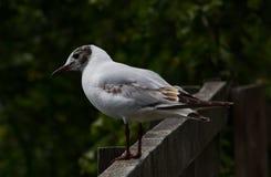 A gaivota de cabeça negra Foto de Stock Royalty Free