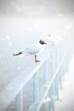 Gaivota de cabeça negra na neve Foto de Stock Royalty Free