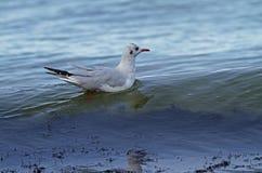 Gaivota de cabeça negra no mar Báltico Imagens de Stock Royalty Free