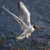 A gaivota de cabeça negra senta-se na água fotografia de stock royalty free