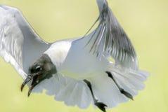 A gaivota de Franklin Imagem de Stock Royalty Free