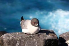 Gaivota de Galápagos Fotografia de Stock Royalty Free
