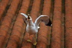A gaivota de mar Fotografia de Stock