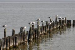 Gaivota de mar Imagens de Stock