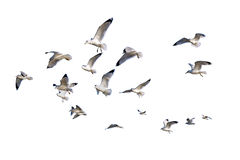 gaivota de mar Anel-faturadas isoladas contra o branco Fotos de Stock Royalty Free