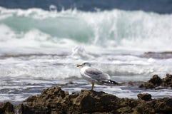 Gaivota de mar (argentatus do larus) Imagem de Stock