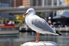 A gaivota de mar bonita senta-se Imagens de Stock Royalty Free