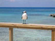 Gaivota de mar de Bahamas Foto de Stock Royalty Free