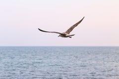 Gaivota de mar do céu Imagens de Stock Royalty Free