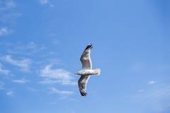 Gaivota de mar do céu azul Imagens de Stock Royalty Free