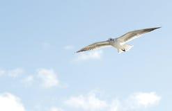 Gaivota de mar em voo Imagem de Stock Royalty Free