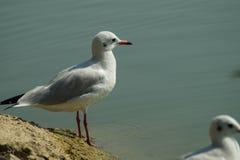 A gaivota de mar, gull em voo Imagens de Stock