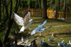 A gaivota de mar, gull em voo Foto de Stock