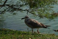 A gaivota de mar, gull em voo Fotos de Stock Royalty Free