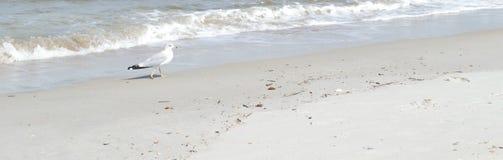 Gaivota de mar na praia de Florida Fotografia de Stock