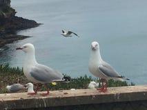 Gaivota de mar Nova Zelândia Fotografia de Stock Royalty Free