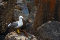 Gaivota de mar que está em rochas na costa de mar fotos de stock royalty free