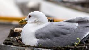 Gaivota de mar que senta-se em seu ninho Foto de Stock