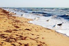 Gaivota de mar que travam peixes na costa no mar de ondulação fotos de stock royalty free