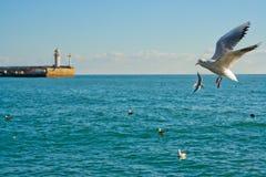 Gaivota de mar que voam sobre uma baía em Yalta, Crimeia Imagem de Stock Royalty Free