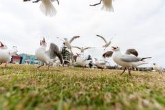 Gaivota de prata de alimentação perto da praia de Bondi, Sydney, Austrália Ação do voo Grande ângulo Foto de Stock Royalty Free