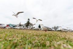 Gaivota de prata de alimentação perto da praia de Bondi, Sydney, Austrália Ação do voo Grande ângulo Imagem de Stock Royalty Free