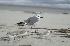 Gaivota de riso com três Shorebirds Imagem de Stock