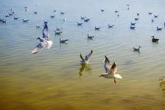 Gaivota delgada em voo e flutuador no lago imagem de stock
