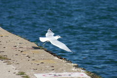 A gaivota descola Fotografia de Stock
