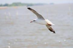 Gaivota do branco do pássaro de mar Imagens de Stock