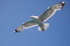 Gaivota do pássaro A que paira no céu azul Imagem de Stock