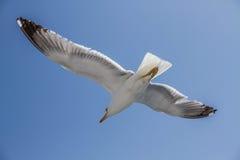 Gaivota do voo com asas estendido Fotografia de Stock Royalty Free