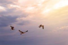 Gaivota do voo no céu azul Foto de Stock Royalty Free