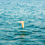 Gaivota do voo sobre a água do mar azul do oceano Fotos de Stock