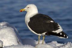 A gaivota dominiquense está sentando-se na neve um o dia de inverno Foto de Stock Royalty Free