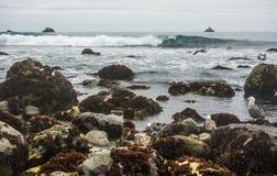 Gaivota e alga de mar Imagem de Stock Royalty Free