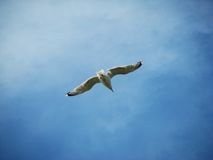 Gaivota e o céu azul Imagens de Stock Royalty Free