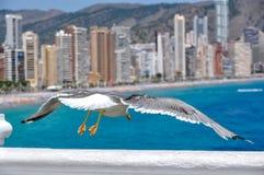Gaivota e Playa de Levante, Benidorm, Espanha imagens de stock