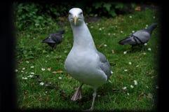 Gaivota e pombos irlandeses fotos de stock royalty free