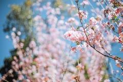 Gaivota e Sakura de China KunMing imagens de stock