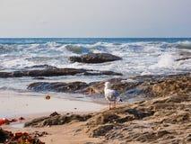 Gaivota em rochas que olha ondas de oceano pesadas, Sydney, Austrália imagens de stock