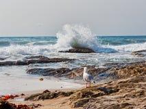 Gaivota em rochas que olha ondas de oceano pesadas, Sydney, Austrália fotos de stock royalty free