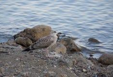 Gaivota em um litoral rochoso Fotografia de Stock