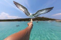 Gaivota em voo, swooping para o alimento realizado em uma mão do ` s da pessoa Fotos de Stock Royalty Free