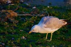 A gaivota encontrou algo Imagem de Stock Royalty Free