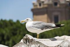 Gaivota ereta grande em Roma Fotos de Stock Royalty Free