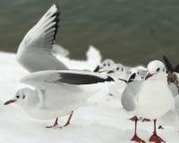 A gaivota está aterrando na neve Imagem de Stock