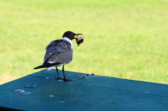 A gaivota está comendo o queque Fotos de Stock