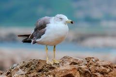 A gaivota está em uma rocha Foto de Stock