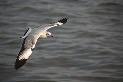 A gaivota está voando no oceano Foto de Stock Royalty Free